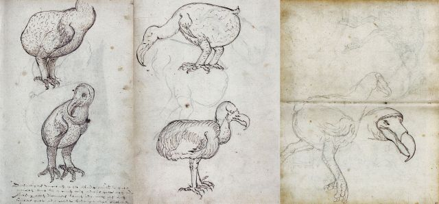 Compilation of the Gelderland sketches from 1601 of live and recently killed dodos, attributed to Joris Laerle